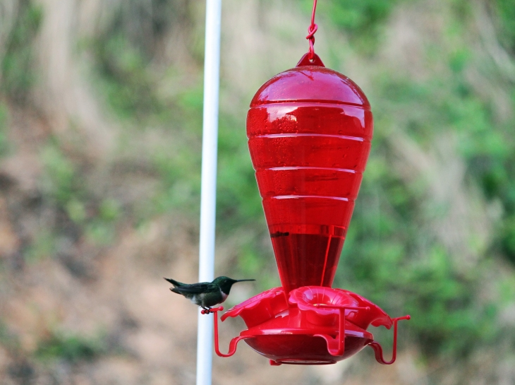 They are known as hummingbirds because of the humming sound created by their beating wings which flap at high frequencies audible to humans